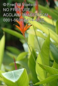 Stock Image: Heliconia Flowers