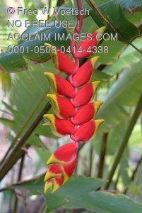 Clipart Stock Photo: Lobster Claw Heliconia