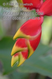Clipart Stock Photo: Hanging Lobster Claw Heliconias