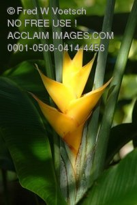 Stock Image: Yellow Heliconia Flower