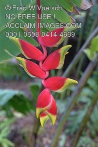 Stock Photo: Hanging Lobster Claw Heliconia