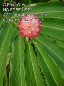 Clipart Stock Photo: Pink Ginger Plant and Flower