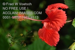 Clip Art Stock Photo of a Red Hibiscus Flower