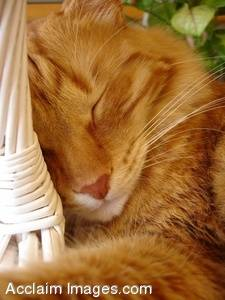 Stock Image of  a Ginger Cat Sleeping