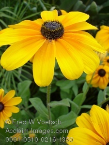 Clip Art Stock Photo of a Brown Eyed Susan Flower