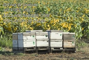 Clip Art Stock Photo of Bees Next to a Crop of Sunflowers