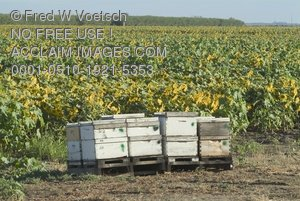 Clip Art Stock Photo of a Sunflower Crop With Honey Bees