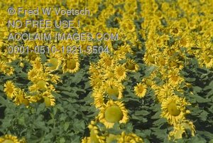 Sunflower Field Clip Art Stock Photo