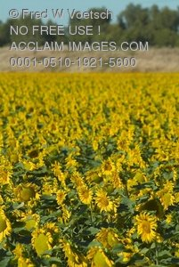 Clip Art Stock Photo of a Crop of Sunflowers