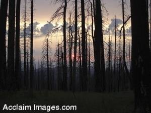 Stock Photo of a Fire Damaged Forest