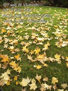 Fall Leaves on a Lawn of Green Grass