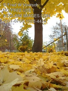 Clip Art Stock Photo of Colorful Fall Leaves as Viewed From the Ground, Looking Up at the Tree