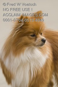 Clip Art Stock Photo of a Pomeranian Dog