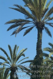 Stock Photo Clip Art of Palm Trees Against a Clear Blue Sky