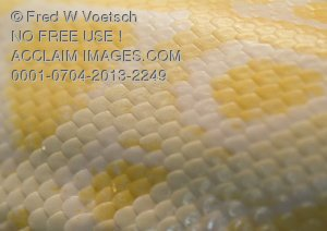 Stock Photo of the Skin and Scales of an Albino Snake