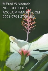 Stock Photo Clip Art of a White Hibiscus Flower