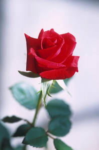 Free Photo of A Single Red Rose