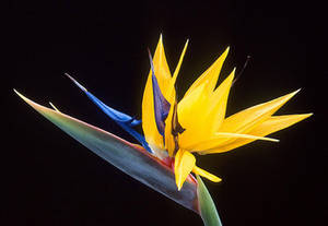 Free Photo of a Bird of Paradise Flower