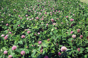 Free Photo of a Field of Red Clover