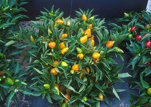 Free Photo of  a Pepper Plant