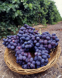 Free Photo of Autumn Royal Grapes. Click Here to Get Free Images at Clipart Guide.com