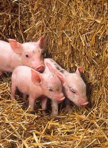 Free Photo of Three Little Piglets