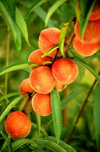 Flameprince Peaches on the Tree