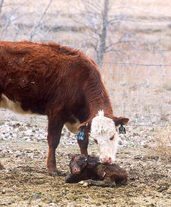 Free Photo of a Cow and her Calf