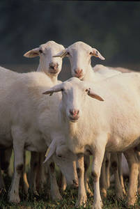 Free Photo of St. Croix Sheep