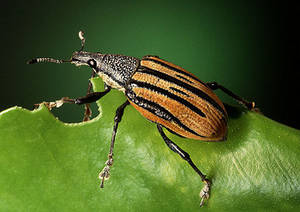 Free Photo of a Citrus Root Weevil (Diaprepes)
