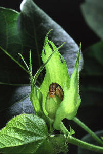 Free Photo of a Cotton Bollworm