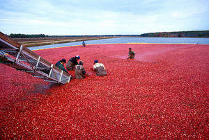 Clipart of Cranberry Harvesting