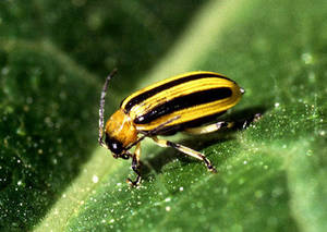 Free Photo of a Cucumber Beetle