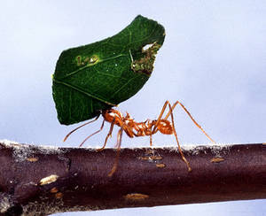 Free Photo of a Leaf Cutter Ant (Atta cephalotes)