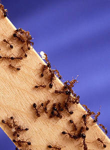 Free Photo of Red Fire Ants