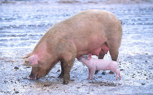 Free Photo of Mama and Baby Pig