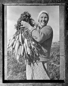 Free Photo of a Carrot Picker During Harvest, 1935, in the Gorki Region, USSR