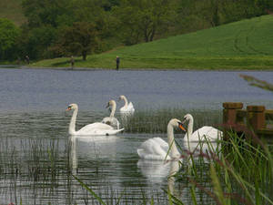 Free Photo of Swans in Ireland