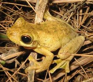 Free Picture of Tyler's Tree Frog