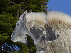 Free Photo of a Molting Mountain Goat