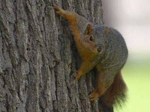 Free Photo of a Red Fox Squirrel On a Tree