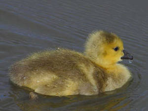 Free Photo of a Gosling