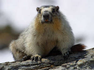 Free Photo of a Marmot On A Rock