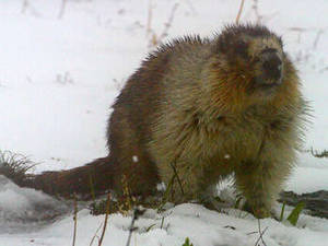 Free Photo of a Marmot In The Snow