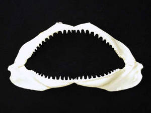 Free Photo of a Shark's Jaw