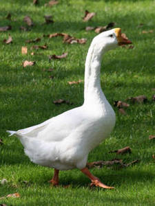 Free Photo of a Large Goose Walking in Grass
