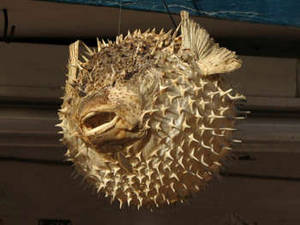 Free Photo of a Preserved Porcupinefish