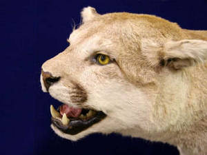 Free Photo of a Mounted Cougar