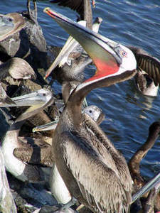 Free Picture of a Group of Pelicans