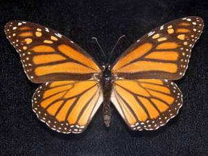 Free Photo of a Mounted Butterfly